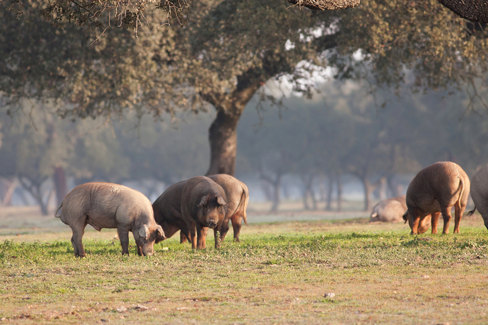 Iberian pig eating acorns in the meadow