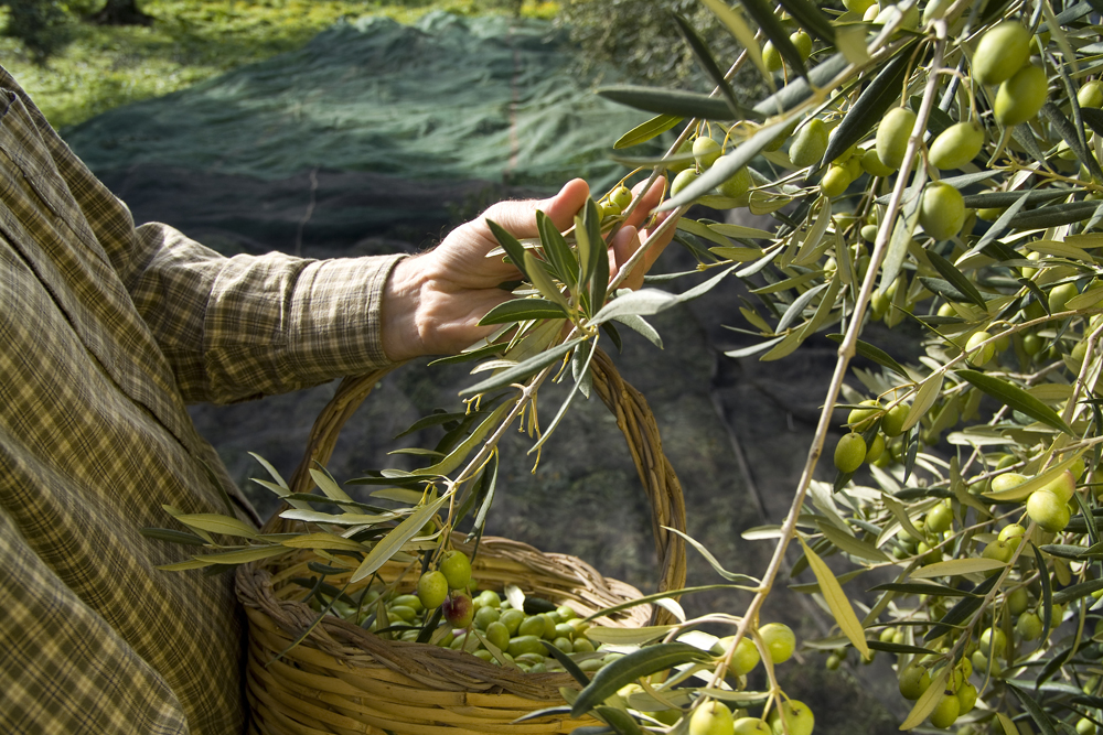 Olive picking is seldom done by hand now; here a peasant is cheking the olives for ripeness...this variety is called